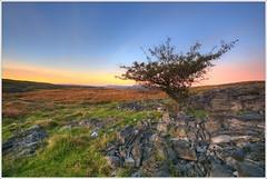 Lone Hawthorn Tree Penwyllt (neilholman) Tags: lone hawthorn tree penwyllt brecon beacons