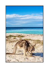 Kangaroo on the beach in Australia (sugarbellaleah) Tags: australia wildlife kangaroo cute adorable marsupial hop animal beach thisisaustralia sand seaside ocean portait furry nature fauna southcoast seashore love copyspace travel tourism idyllic paradise perfect location holiday vacation getaway enjoyment eurobodalla