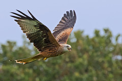 Red Kite - Llanddeusant  Llangadog (Mike.Pursey) Tags: red kite redkite bird prey wales pentax 150450mm wr ricoh k1