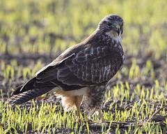 Buzzard (peterspencer49) Tags: peterspencer peterspencer49 buzzard backlit bird birdofprey hawk raptor southwest somerset