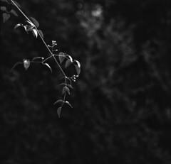 Branch (•Nicolas•) Tags: 100iso 120 analog bw buschpressman film fomapan largeformat nb nicolasthomas branch tree nature minimal