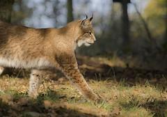 Lynx (Henry der Mops) Tags: 90a9638 wildcat lynx luchs mplez henrydermops canoneos7dmarkii canonlens100400mm hochwildschutzparkrheinböllen