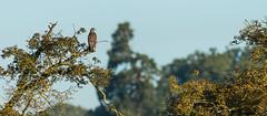 Tree top buzzard (Stickyemu) Tags: nature wildlife bird birdofprey sunrise goldenhour tree treetop countryside nikond500 nikon200500mmf56
