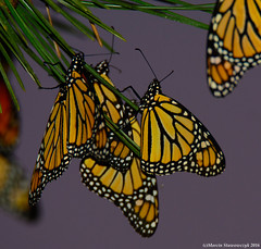 Evening butterflies (v4vodka) Tags: monarch monarchbutterfly motyl motylek milkweed commontiger wanderer blackveinedbrown danausplexippus monarchfalter amerikanischemonarch monarcha 君主斑蝶 insect butterfly