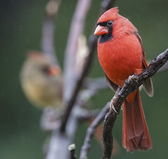 Cardinals (Yer Photo Xpression) Tags: ronmayhew canoneos6dmarkii northerncardinal red bird male tree