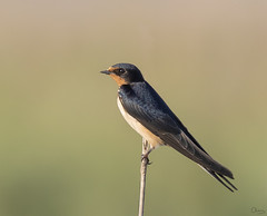 Golondrina común (Antonio Lorenzo Terrés) Tags: golondrina comun ave migratoria laguna bird pájaro fauna nature naturaleza