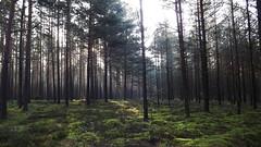 Forest Morning 23 (rimasjank) Tags: mist fog morning sunrise forest pine moss landscape