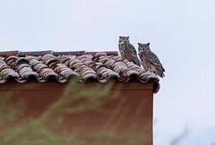Pest Patrol (Ron Drew) Tags: nikon d850 owl greathornedowl arizona twilight scottsdale desert evening wildlife raptor roof autumn