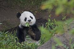 Gao Gao (Rita Petita) Tags: gaogao sandiegozoo sandiego california china panda giantpanda