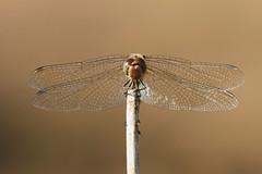 Sympetrum Vulgatum (Visual Stripes) Tags: dragonfly odonata sympetrum vulgatum insect invertebrate canoneos7d sigma14teleconverter sigma150mm macro bokeh