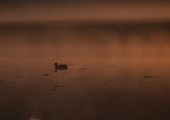 Ente in der Morgensonne (lebastian) Tags: teich ente panasonic dmcgx8 lumix g vario 45150f4056