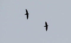 7K8A8137 (rpealit) Tags: scenery wildlife nature state line lookout chimney swift bird