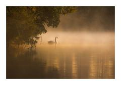 Harmonious (Vemsteroo) Tags: warm light sunrise dawn mist fog bird water riveravon warwickshire 7d mkii 100400mm ethereal dreamy landscape waterscape atmospheric trees forest woodland reflection swan swans anatidae