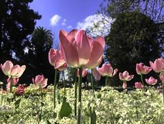 Tulips (Aussie~mobs) Tags: flowers toowoomba carnivalofflowers 2018 queensland australia pretty colourful queenspark