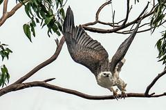 20181019-052a-Arthur River Cruise-Flickr.jpg (Brian Dean) Tags: arthurriver austgeo 2018tour bird whitebelliedseaeagle housesitting tasmania slideshow flickr facebook