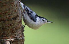 Tree Clinger (Diane Marshman) Tags: whitebreastednuthatch nuthatch small bird black head gray wings white chest breast belly cherry tree nature wildlife pa pennsylvania