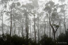 20181015-09-Three Capes Track day 4 - Cloud forest on Mt Fortescue (Roger T Wong) Tags: 2018 australia mtfortescue np nationalpark rogertwong sel24105g sony24105 sonya7iii sonyalpha7iii sonyfe24105mmf4goss sonyilce7m3 tasmannationalpark tasmanpeninsula tasmania threecapestrack bushwalk cloudforest green hike lichen mist moss outdoors tramp trek walk