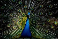 Pavão Misterioso Foto Marcus Cabaleiro Site: https://marcuscabaleirophoto.wixsite.com/photos  Blog: http://marcuscabaleiro.blogspot.com.br/ #marcuscabaleiro #pavão #orquidário #santos #brasil #fotografia #imagem #cores #photography #photographer #brazil # (marcuscabaleiro4) Tags: brazil imagem pavão brasil fotografia nikon ave cores marcuscabaleiro photographer orquidário photography santos