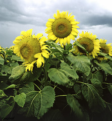 Sunflowers in Nebraska. Original image from Carol M. Highsmith's America, Library of Congress collection. Digitally enhanced by rawpixel. (Free Public Domain Illustrations by rawpixel) Tags: otherkeywords tags tagcc0 america area blossom botanical carolhighsmith carolmhighsmith cc0 closeup cloudy farm field floral flower flowers fresh garden meadow morning nature nebraska plant season spring summer sunflower sunflowers unitedstates unitedstatesofamerica usa yellow