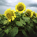 Sunflowers in Nebraska. Original image from Carol M. Highsmith's America, Library of Congress collection. Digitally enhanced by rawpixel.