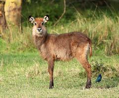Waterbuck - Laikipia - Kenya (lotusblancphotography) Tags: africa afrique kenya laikipia nature wildlife faune animal waterbuck
