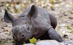 Biology lesson: Leafs (AvesAg) Tags: r zooberlin canon eos berlin zoo spitzmaulnashorn blackrhinoceros rhinoceros dicerosbicornismichaeli dicerosbicornis ostafrikanischesspitzmaulnashorn baby nashorn eosr