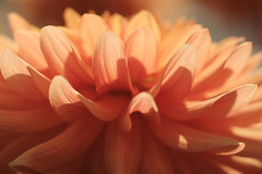 orange fantasy (christophe.laigle) Tags: christophelaigle fleur macro nature flower fuji dahlia xpro2 xf60mm orange