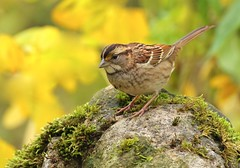 Garden Gnome (Slow Turning) Tags: zonotrichiaalbicollis whitethroatedsparrow bird perched mossyrock stone fallfoliage autumn colour color southernontario canada migrant migration