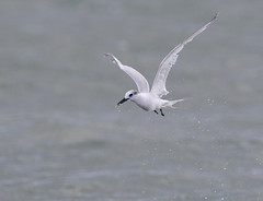 Splitterne - Sandwich Tern (Tonny@Papillon) Tags: bird birds terns nature wildlife birdwatching