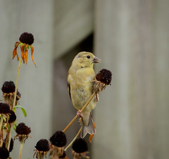 American Goldfinch (mahar15) Tags: bird goldfinch americangoldfinch wildlife nature finch outdoors
