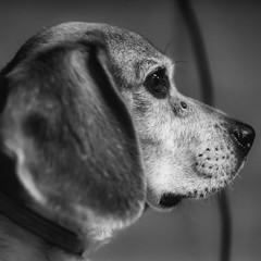 Brian (rischefantorus) Tags: dog cane vintagelens revuenon f14 widebw littledoglaughednoiret