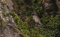 All flights cancelled (davidrhall1234) Tags: barnowltytoalba barnowl owl benderloch scotland argyll birds bird birdsofbritain beak birdsofprey countryside coastal coast conservation cliff nature nikon feather outdoors wildlife world woodland