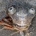 (Not so) Happy crab  (Thanks Marije!)