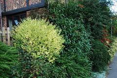 DSC_2687 (PeaTJay) Tags: nikond70s reading berkshire lowerearley outdoors nature gardens flowers plants trees bushes