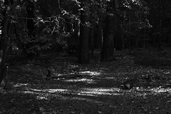Chobham Common 4 October 2018 006 (paul_appleyard) Tags: chobham common woodland trees forest sunlit october 2018 black white surrey heath wood tree