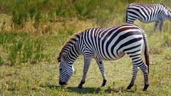 [T] SNY02294 (KoffeeShark) Tags: deer zebra cat bus peacock llama baby foal sony a6300 wildlife safari tour zoo lemur cow banteng sika