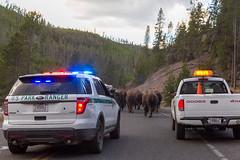 2018-09-trip-3-yellowstone-4-wildlife-mjl-33 (Mike Legeros) Tags: wyoming yellowstone nationalpark bison bisonjam buffaloroam