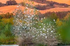 Arbre à coton ... (denis.loyaux) Tags: denisloyaux domainedesoiseaux nikond850 hérongardeboeufs bubulcusibis westerncattleegret pélécaniformes ardéidés mazères midipyrénnées france oiseaux birds «nikkor600f4»