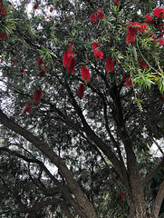 2018 Sydney: Bottlebrush Tree (dominotic) Tags: 2018 flower tree red australiannativetree callistemon bottlebrushtree green leaves nature myrtaceae sydney australia