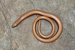 slow worm (john neal photography) Tags: slowworm reptile dorset uk nature wildlife photography