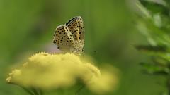 4 (2) (andrzejreschke) Tags: insects reptiles plants grass nature butterfly lizard moss flowers beauty beautyofnature