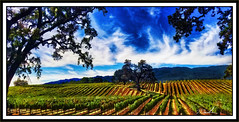 Fall Starting in the Vineyards (A Work of Mark) Tags: vineyards color brcohen landscape oaktree clouds photoshop sonomacounty topazsimplify layers