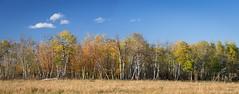 Beaverhill Fall (alexanderer_) Tags: canon panorama landscape spruce aspen edmonton canada alberta beaverhill tofield prairies prairie green orange red leaves trees autumn fall