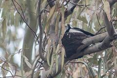 c7l_1103 (steve happ) Tags: australia grallinacyanoleuca magpielark manilla namoiriver newsouthwales
