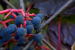 Colors of Autumn (Adam Malycha) Tags: nikon1755 d7200 colors autumn berries colorful composition village holiday red green
