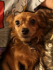 Cutie Doggie (Toni Kaarttinen) Tags: italy italia italie italien italio lombardia pavia ticium papia dog doggie