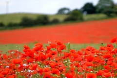 Blackstone Farm Poppy Field (Seventh Heaven Photography **) Tags: blackstone farm poppy field poppies bewdley kidderminster red flowers blooms flora carpet papaver papaveroideae nikon d3200 trees sky landscape july 2014
