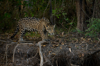 Jaguar in hunting mode