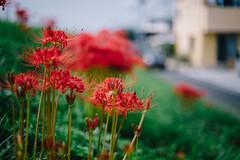 2018.9.23: Higanbana 彼岸花 (Nazra Z.) Tags: autumn latesummer 2018 raw vscofilm okayama japan flower bush red green nature