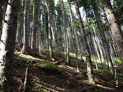 732 Camí de la Ribera - 12 (e_velo (εωγ)) Tags: 2018 catalunya cerdanya summer estiu verano forest bosques boscos trees árboles arbres